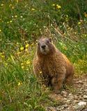 Nyfiken Marmot Royaltyfri Foto