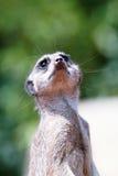 nyfiken meerkat Royaltyfria Bilder