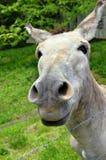 nyfiken mule Royaltyfri Fotografi