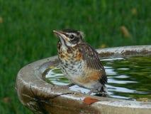 Nyfiken nybörjarerödhake på fågelbadet fotografering för bildbyråer