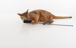 Nyfiken och ilsken Abyssinian katt som ligger på jordningen och spelar med leksaken bakgrund isolerad white Fotografering för Bildbyråer