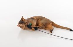 Nyfiken och ilsken Abyssinian katt som ligger på jordningen och spelar med leksaken bakgrund isolerad white Arkivfoto