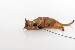 Nyfiken och ilsken Abyssinian katt som ligger på jordningen och spelar med leksaken På vitbakgrund Arkivfoto
