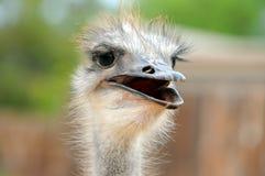 nyfiken ostrich Arkivfoto