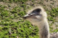 Nyfiken Ostrich Arkivbild