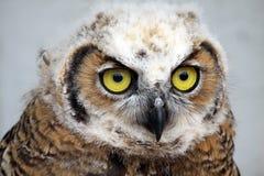 nyfiken owl Royaltyfri Bild