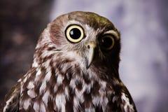 Nyfiken Owl Arkivfoton