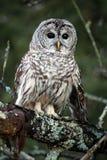 nyfiken owl Arkivbild