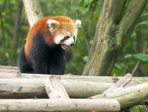 nyfiken pandared för björn Arkivbild