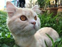 Nyfiken perserkatt på grön trädgård med stora gula ögon arkivbild