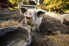 nyfiken pig Royaltyfria Bilder
