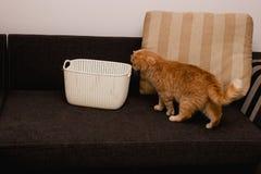 Nyfiken röd katt Royaltyfri Fotografi