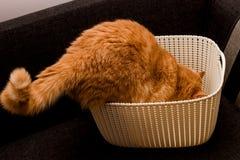 Nyfiken röd katt Arkivfoton