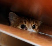 Nyfiken röd katt Royaltyfria Bilder