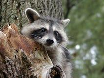nyfiken raccoon arkivbild