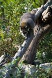 nyfiken raccoon Royaltyfri Bild