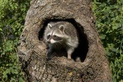 nyfiken racoon Royaltyfria Bilder