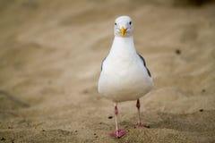 nyfiken seagull Royaltyfri Bild