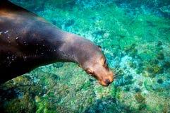 Nyfiken sjölejon undervattens- Galapagos Royaltyfri Fotografi