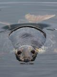 Nyfiken skyddsremsa i vattnet Fotografering för Bildbyråer
