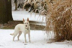 Nyfiken snöig hund Fotografering för Bildbyråer