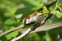 nyfiken sparrow Arkivbild