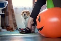 Nyfiken stålarrussell hund som sitter bredvid kvinnan som sitter på för halloween för soffa den hemmastadda ballongen pumpa arkivfoto