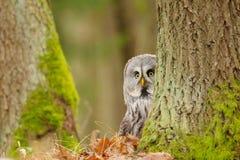 nyfiken stor grå owl royaltyfria bilder