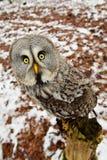 nyfiken stor grå owl arkivbilder
