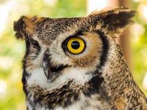 Nyfiken stor Horned uggla arkivbilder