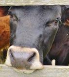 Nyfiken svart ko Arkivbild