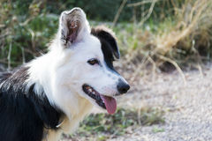 Nyfiken svartvit hund Arkivfoton