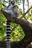 nyfiken tailed lemurcirkel Royaltyfri Foto
