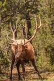 Nyfiken tjurälg fotografering för bildbyråer