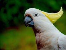 Nyfiken underbar Sulphur krönad kakadua med den dolda bröstkorgen för röd smuts Arkivbild
