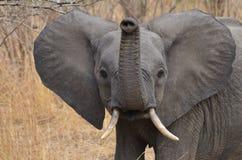 Nyfiken ung elefant Arkivbild