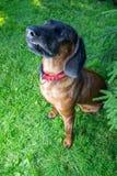 Nyfiken ung hund som omkring spelar Royaltyfri Fotografi