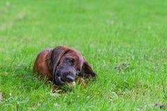 Nyfiken ung hund som omkring spelar Arkivbild