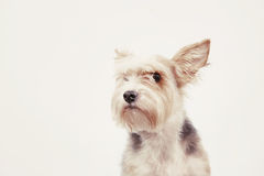 Nyfiken vänlig hund med uppmärksam blick Royaltyfri Foto