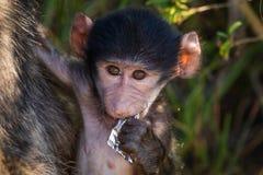 Nyfiket behandla som ett barn babianen arkivfoton