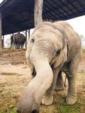 Nyfiket behandla som ett barn elefanten Arkivbild