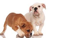 Nyfiket brunt engelskt lukta för bulldoggvalp och dess broderst Royaltyfri Fotografi