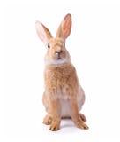 nyfiket kaninredbarn royaltyfria foton
