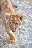 nyfiket lionbarn Arkivbild