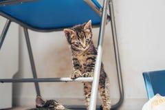 Nyfiket litet grått kattungeanseende på en stol arkivfoto