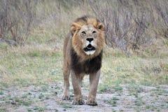 Nyfiket manligt lejon fotografering för bildbyråer