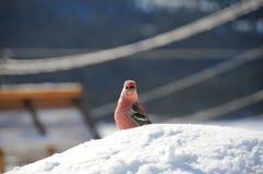 Nyfiket sörja grosbeaksammanträde på snö Royaltyfri Fotografi