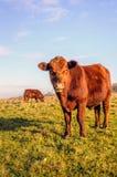 Nyfiket se den bruna Galloway tjuren Fotografering för Bildbyråer