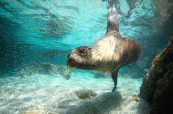 Nyfiket simma för sjölejon som är undervattens- Royaltyfria Foton