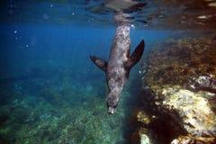 Nyfiket simma för sjölejon som är undervattens- Royaltyfri Bild